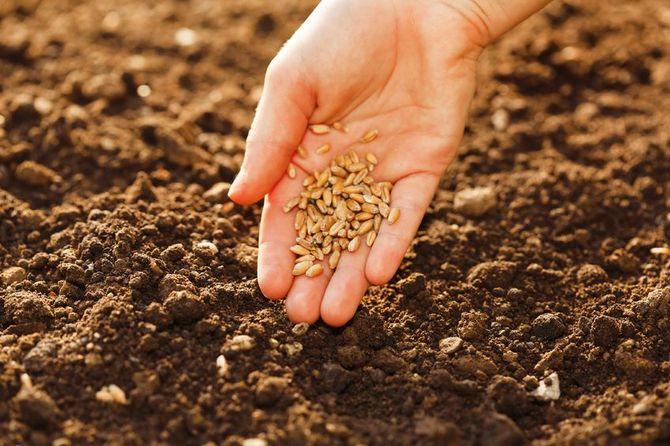 Подготовка грядки и высадка семян