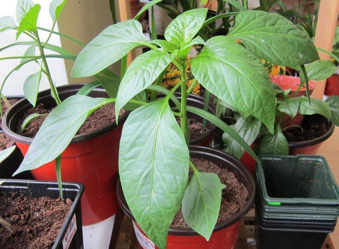 Правила ухода за рассадой: полив и подкормки