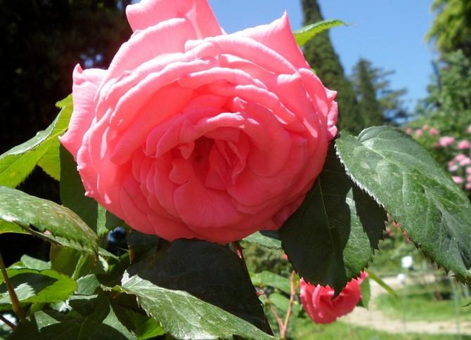 Выращивание розы Паризе Шарм