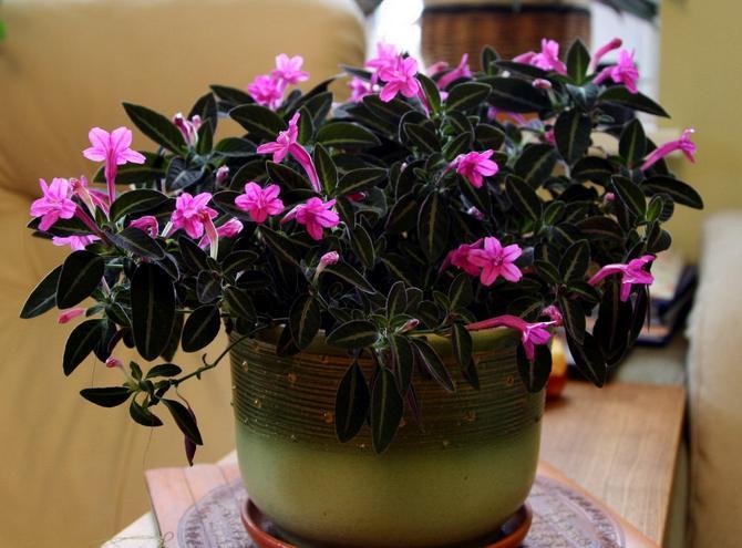 Уход за цветком руэллия в домашних условиях