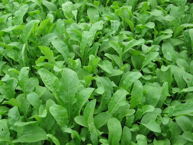 Представитель семейства крестоцветного пряная рукола относится к овощам с большим наличием йода, полезных веществ и витаминов