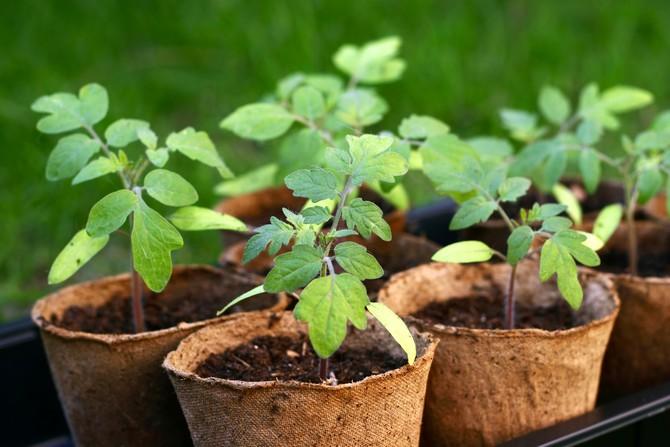 Торфяные стаканчики – это экологически чистый материал, который не загрязняет природу, а наоборот удобряет и питает ее.
