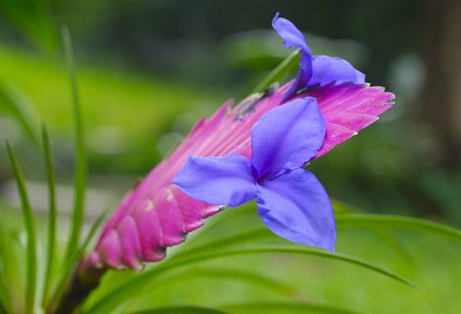 Уход за тилландсией в период цветения