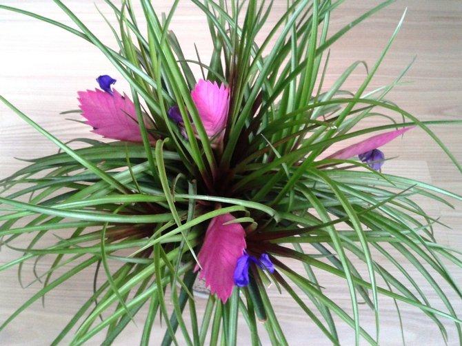 Огромная потребность во влаге у комнатного цветка наблюдается летом: почва в горшке постоянно должна быть влажной.