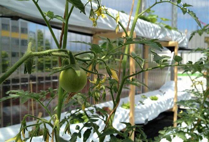 Преимущества подзимнего посева томатов