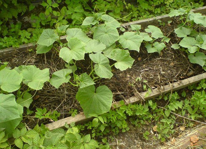 Посадка огурцов в грядку, уход и выращивание