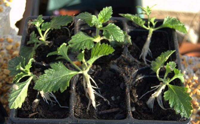 Черенкование обычно проводится в весеннее время. Для черенков используют верхние побеги.