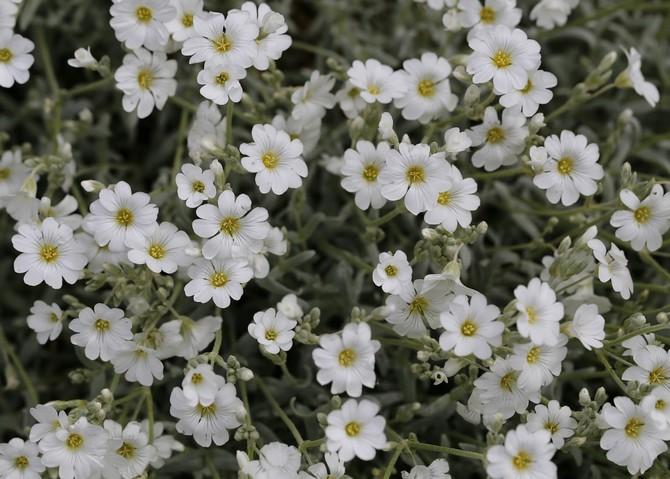 Ясколка войлочная – посадка и уход за цветком. Выращивание ясколки в открытом грунте. Описание, виды, фото