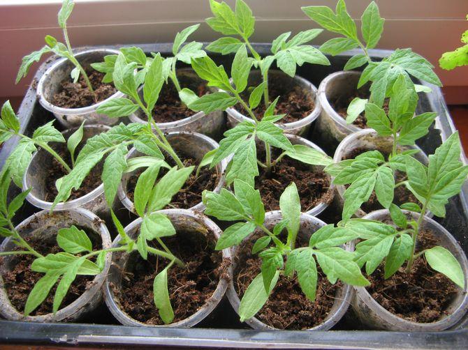 Закаливание томатной рассады проводится при температуре не менее 12 градусов тепла.