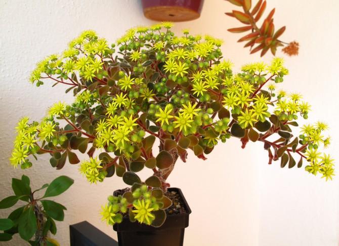 Цветение аихризона
