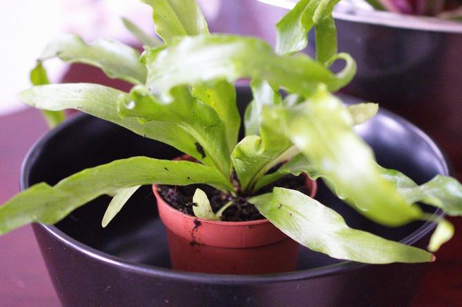 поливать растение надо через дренажные отверстия, погрузив горшок в ёмкость с водой.