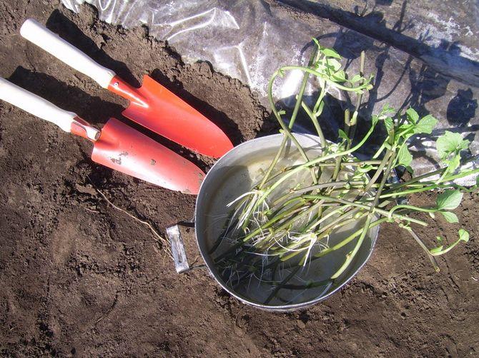 Почему стоит выращивать батат?
