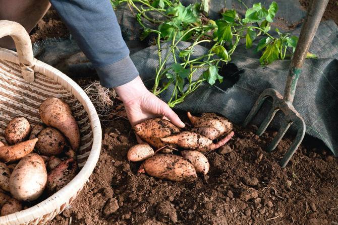 Выращивание батата в средней полосе: проращивание клубней