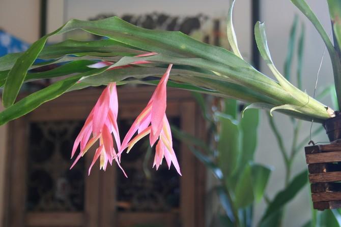 Растение может благоприятно существовать при невысокой влажности в комнате