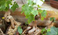 Брахихитон (бутылочное дерево) – уход в домашних условиях. Выращивание, пересадка и размножение брахихитона. Описание, виды, фото