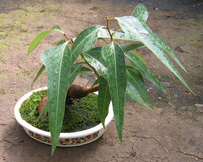 Обильность полива зависит от времени года: летом дерево поливают регулярно, а зимой почти не поливают.