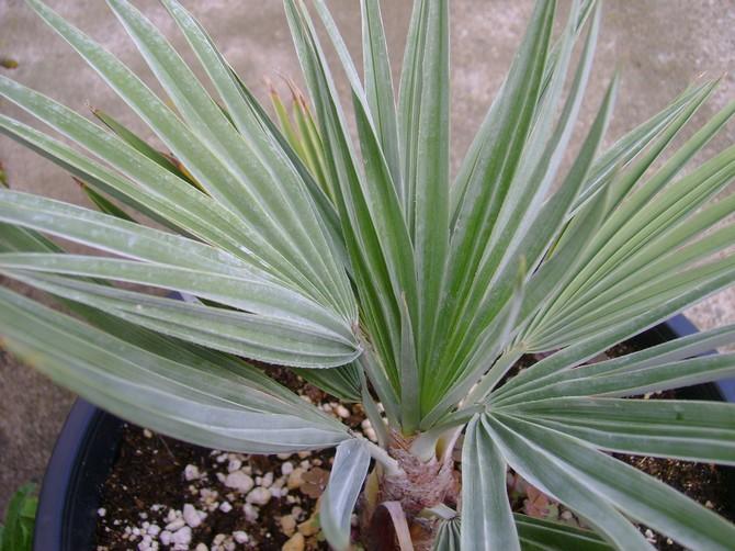 Брахея – уход в домашних условиях. Выращивание пальмы брахеи, пересадка и размножение. Описание, виды, фото