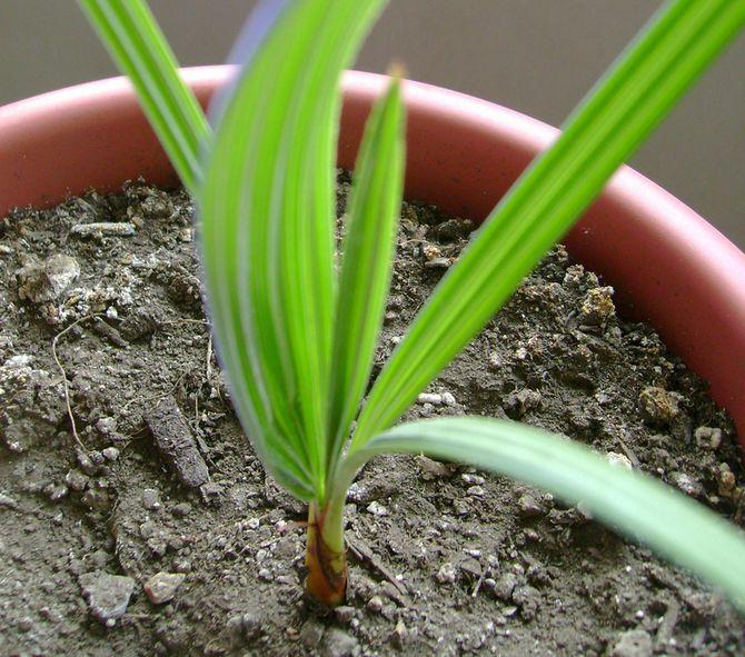 Размножение пальмы брахеи