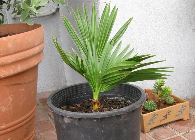 Для поддержания нормальных условий содержания, пальму следует время от времени опрыскивать