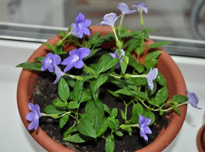 Для посадки бровалли можно использовать обычный покупной грунт для цветущих комнатных растений.