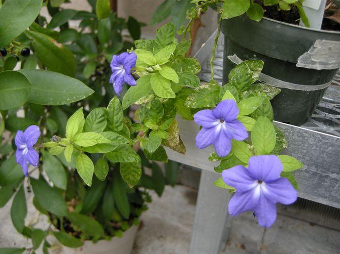 Растение не переносит жару и реагирует на нее снижением количества бутонов, пожелтением и засыханием листьев.