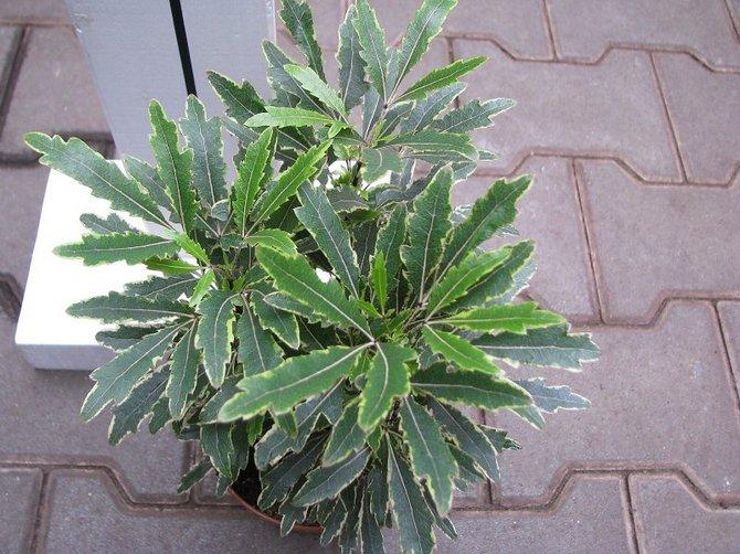 Поливать растение весной и летом надо в достаточном количестве, однако не стоит допускать переливов