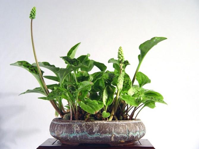 Дримиопсис – уход в домашних условиях. Выращивание, пересадка и размножение дримиопсиса. Описание, виды, фото