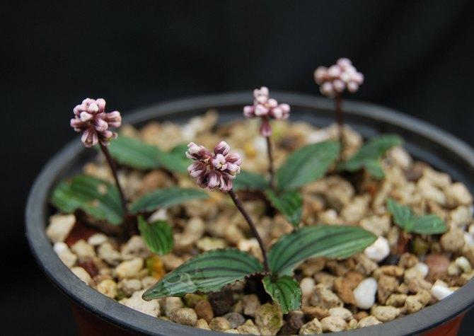 В период активного роста и цветения растение нужно поливать по мере необходимости