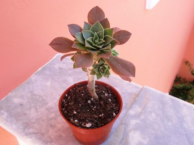 Деревце хорошо растет весной и летом, поэтому в этот период ему требуется питательная подкормка для кактусов