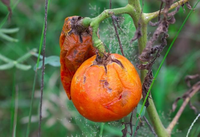 Борьба с фитофторой томатов: народные методы и средства