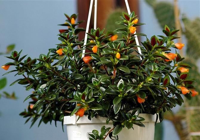 В усиленном поливе растение нуждается только в жару.