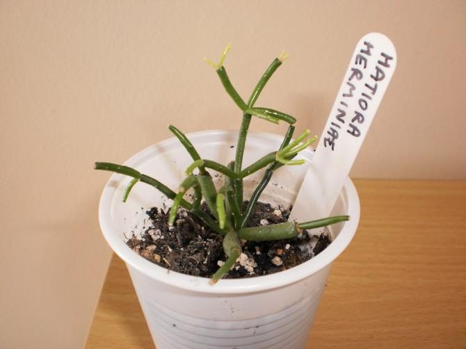 Размножение кактуса хатиоры