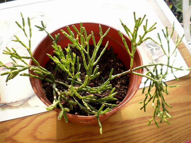 В период роста и цветения удобрение следует вносить раз в две недели.