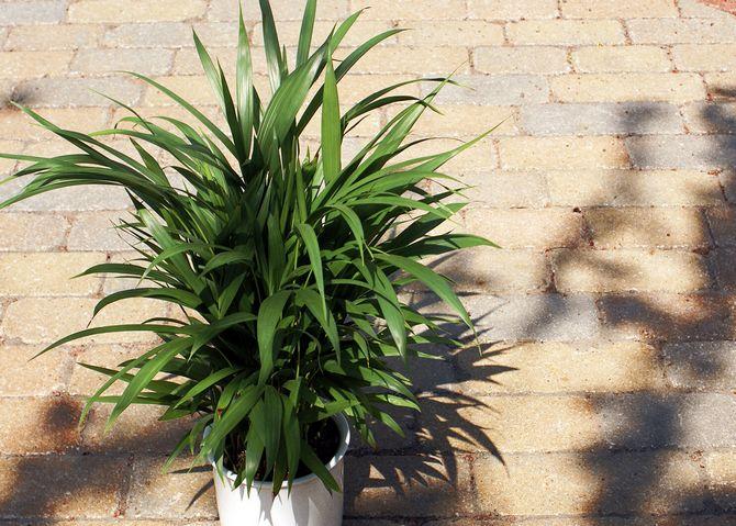 Влажность в помещении с растущим хризалидокарпусом должна быть высокая.