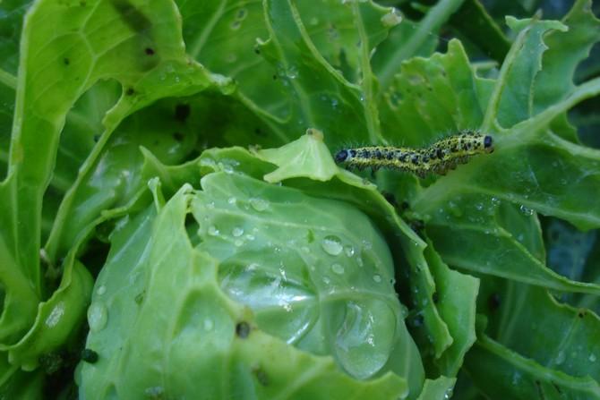 Как избавиться от гусениц капустницы и капустной совки