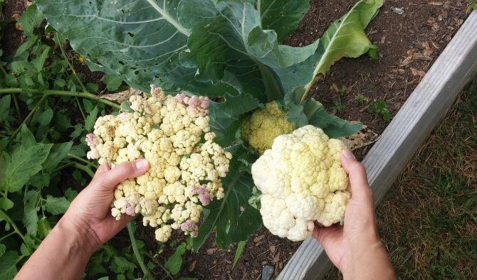Уборка урожая и доращивание цветной капусты