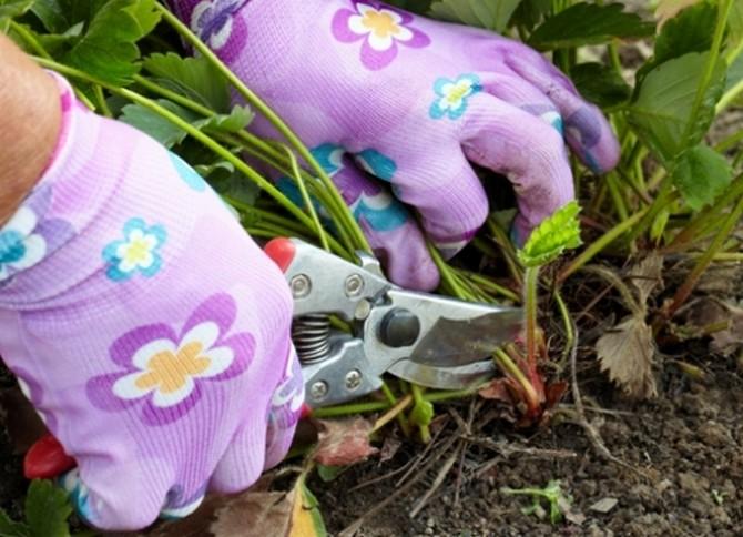 Обрезка кустов клубники осенью