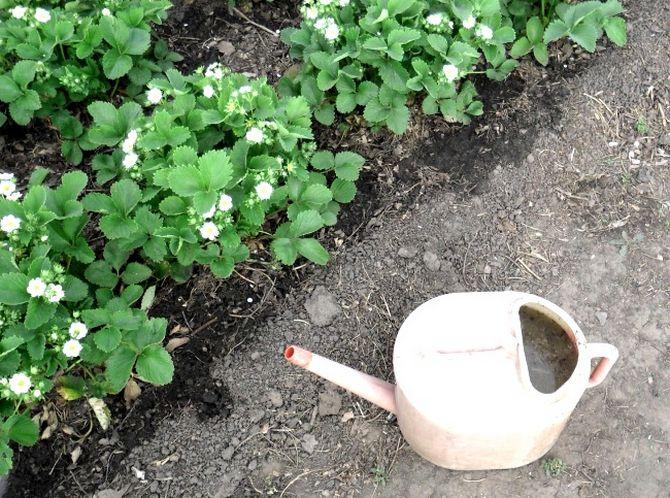 Особенности ухода за кустами клубники после сбора урожая