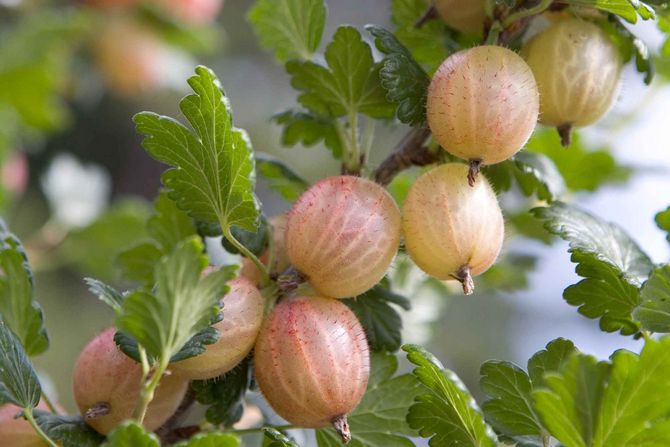 Выращивание крыжовника без химии: посадка, полив, подкормки