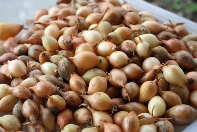 Выращивание лука-севка из семян