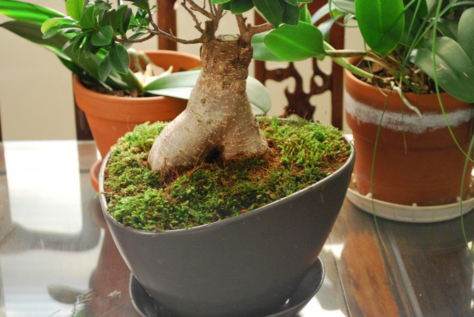 Повышенная влажность воздуха – необходимое условие для развития этого растения.