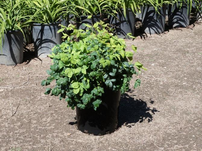 Растение очень любит влагу, поэтому регулярные опрыскивания для него обязательны.