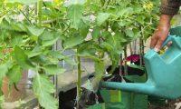 Подкормки огурцов: минеральные и органические удобрения