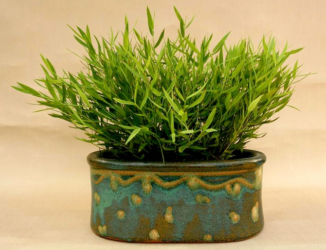 Погонатерум – комнатный бамбук. Уход в домашних условиях. Выращивание погонатерума, пересадка и размножение. Описание, фото