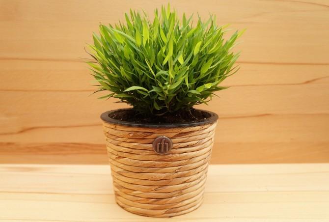 В природе это вечнозеленое травянистое растение, внешне сходное с невысоким злаком, имеющим изогнутые дугой стебли.