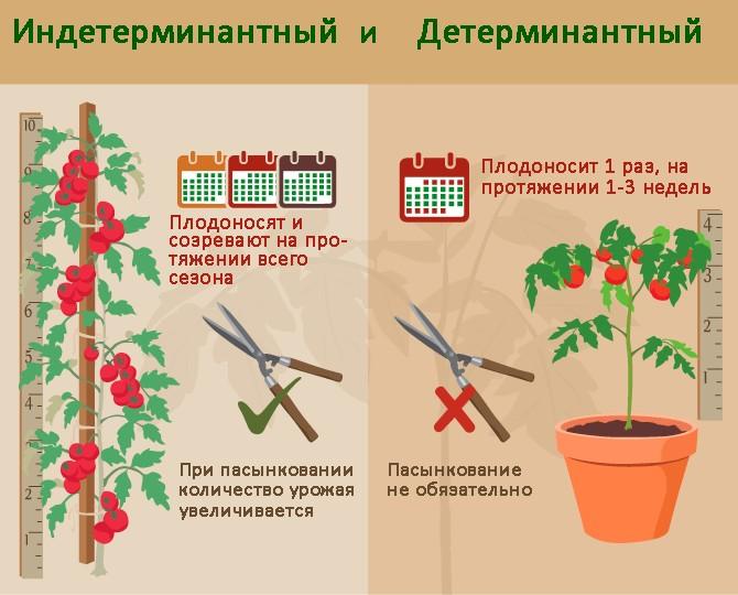 Различия в уходе за детерминантными и индетерминантными томатами