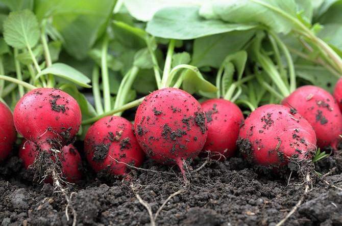 Выращивание редиса ускоренный метод