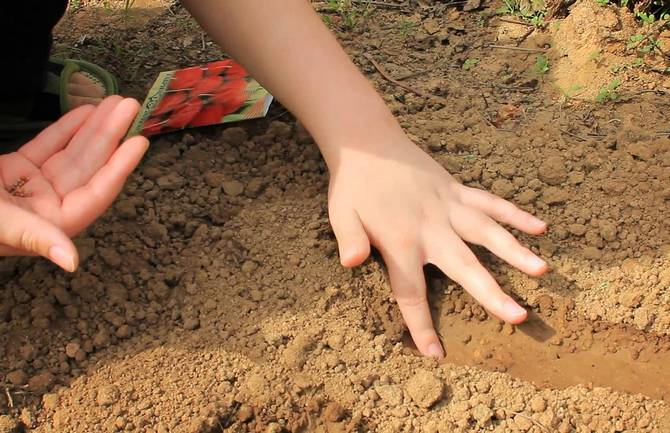 Когда нужно высевать семена редиса
