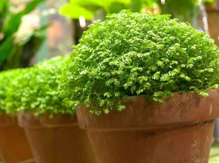 Растение селагинелла