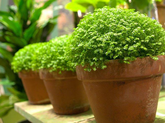Селагинелла – уход в домашних условиях. Выращивание селагинеллы, пересадка и размножение. Описание, виды, фото